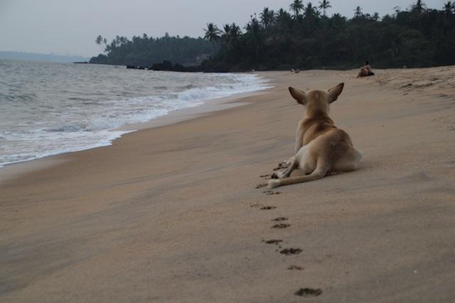 Hund på Thottada Beach.